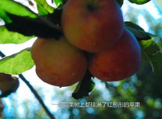种植能手的苹果园