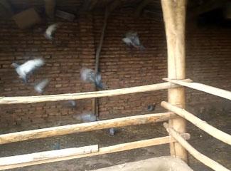 阿迪力养了30多只鸽子