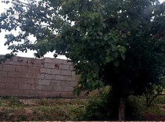阿迪力家的果园里种了几棵杏树