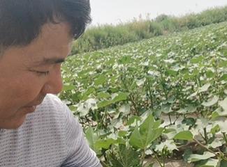 阿卜来提在讲滴灌技术种棉花