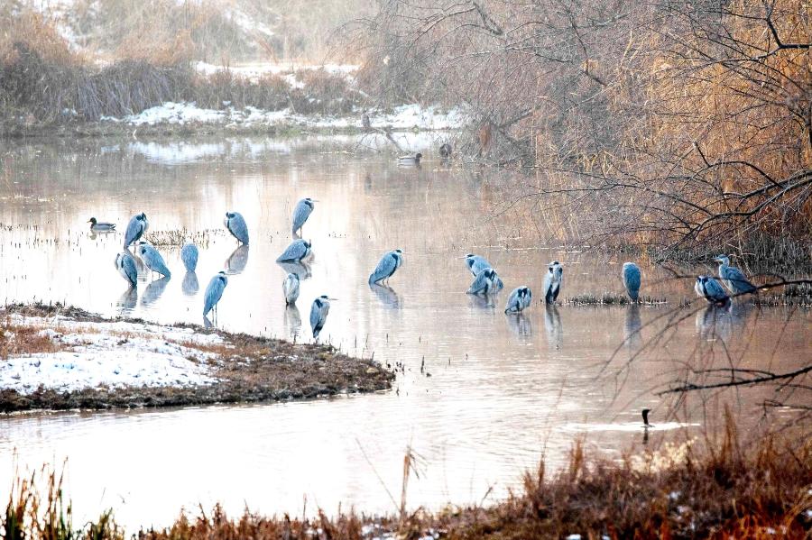 绿水青山丨新疆察布查尔:苍鹭自