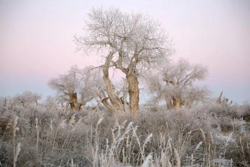 【图说新疆】新疆木垒:棵棵胡杨树 冰花缀满枝