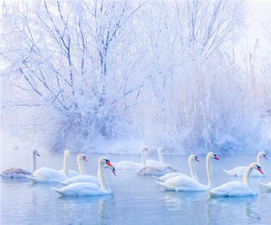 伊犁河谷成天鹅越冬乐园