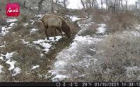 珍稀动物艾比湖马鹿
