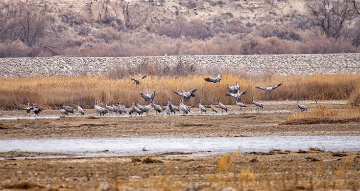 新疆乌什县:湿地生态美 鸟儿翩翩飞