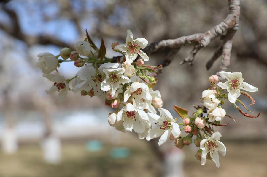 新疆库尔勒:梨花盛开 浪漫一座城