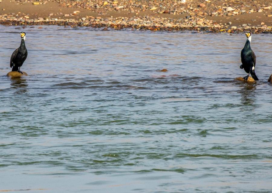 新疆察布查尔:鸬鹚戏水伊犁河畔