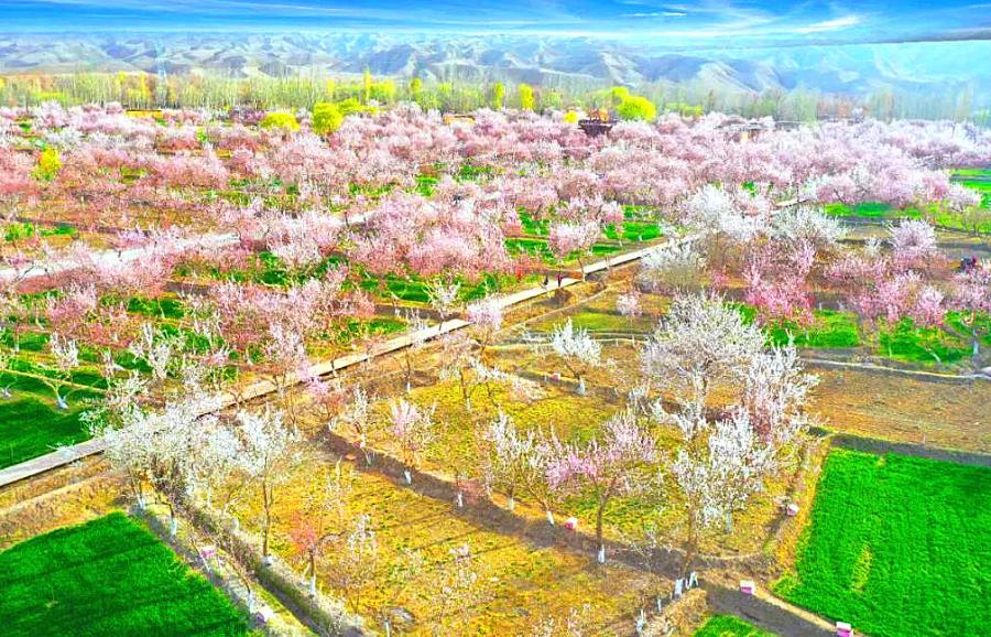 新疆阿克陶:好春藏于杏花梢