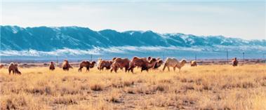 """和布克赛尔:骆驼""""静享""""煦风暖阳"""