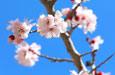 来新疆看杏花 赴一场春天的约会