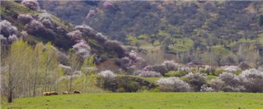 新源县:粉色杏花像云彩般飘满南山峡谷