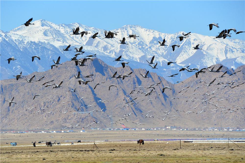 候鸟迁徙看新疆丨巴里坤:鹤舞草原 竞翔蓝天