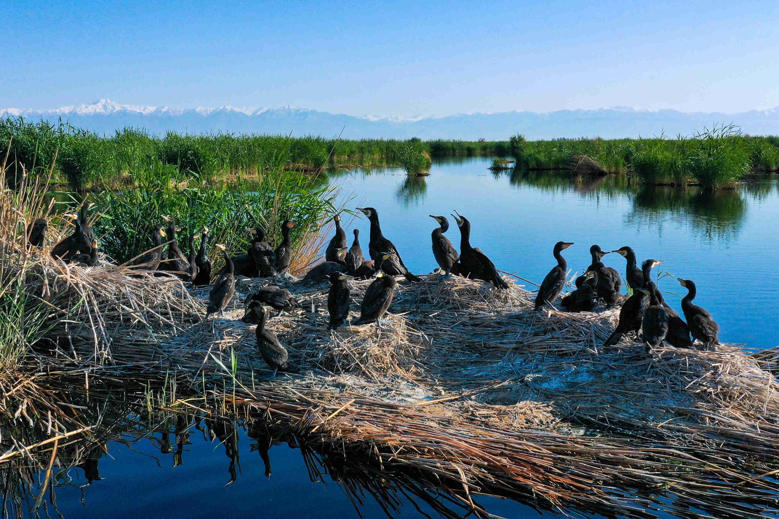 博斯腾湖:芦苇湿地 群鸟自由栖息
