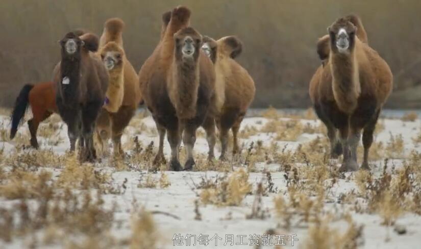 """这里是新疆 """"黄金单身汉""""哈那提的养骆驼生活"""