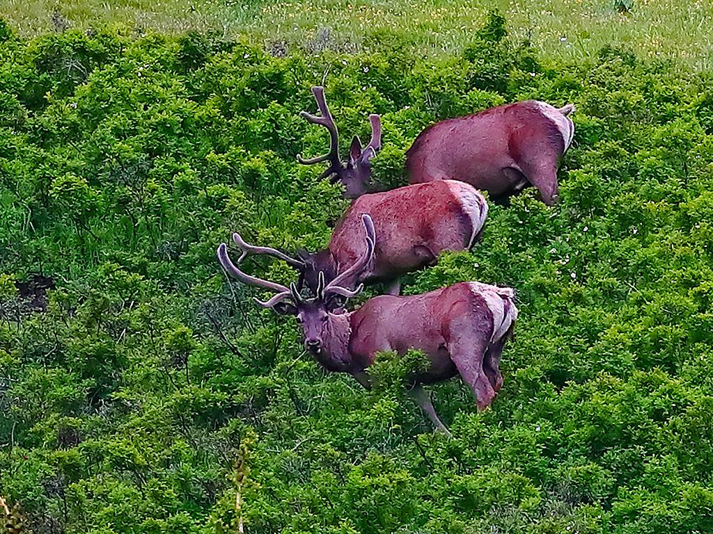 新疆托里:马鹿和雪兔撒欢加依尔山