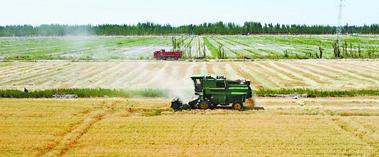 小麦开镰 丰收在望