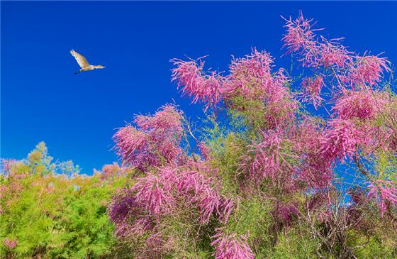 博湖:红柳花开展勃勃生机