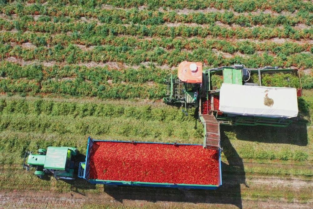 农民丰收丨新疆焉耆:3.73万亩家当番茄喜获丰收
