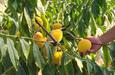 这些南方水果在阿勒泰安了家