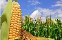 北斗卫星精准播种 乌苏市22.4万亩玉米丰收啦