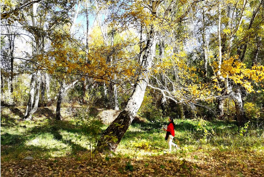 阿勒泰:桦林公园秋色正浓